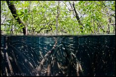 Under-Over mangrove roots. Suzy Walker. I have a bone-deep fear of mangrove swamps.