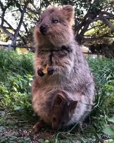 Quokka and her joey 😚😘 Quokka and her joey 😚😘,Cute Animal Videos Cute animals video Cute Little Animals, Cute Funny Animals, Cute Wild Animals, Tierischer Humor, Cute Animal Videos, Tier Fotos, Cute Creatures, Animals And Pets, Animals Kissing
