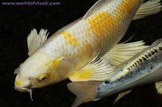 white koi fish | Photo titled: White And Yellow Yamabuki Hariwake Butterfly Koi Fish ...