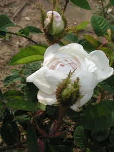 White Moss rose. Love the mossy quality of the young leaves with the white. and the slight pink of the heart.