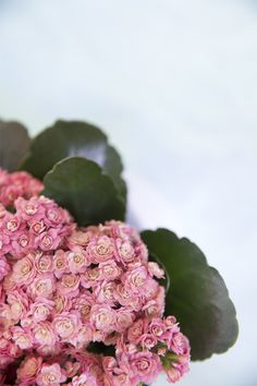 Instagram Photo Kalanchoe Competition   Collaboration with Always Kalanchoe & Quality Plants