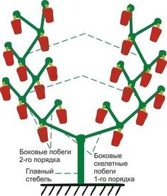 Цель выращивания болгарского перца – получение большого количества крупных и сладких перцев, насыщенных влагой, сладких и аппетитных. Для этого куст необходимо рационально оформить, убрав лишние побег…