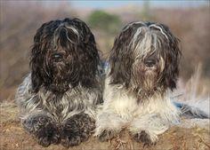 Schapendoes / Dutch Sheepdog / Dutch Schapendoes / Nederlandse Schapendoes