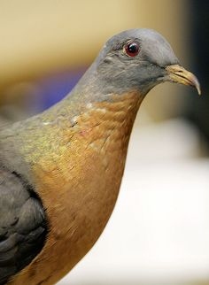 Passenger Pigeon. Hunted to extinction, they once numbered in the billions. Their huge flocks looked like black clouds that went on for miles. The last Passenger Pigeon, 'Martha', died in 1914 at the Cincinnati Zoo.