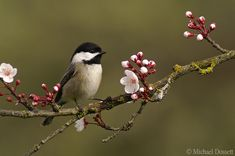 Black-capped Chickadee  Seamus & I just spotted one of these (song first!) in the water maple in our backyard.