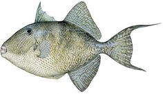 gray-triggerfish.jpg