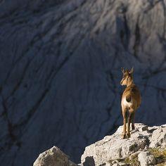 Rebeco en Picos de Europa | Cantabria | Spain