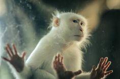 Albino Monkey Photo by Mohammed Alkheraigi — National Geographic Your Shot