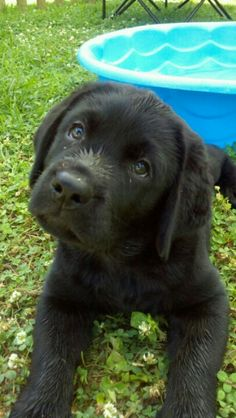 This is a a must have for me!  Need another Labrador!