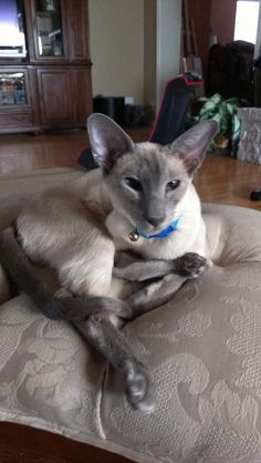 Blue Point Siamese - a real beauty