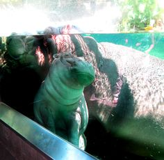 Baby Hippo. I LOVE HIPPOS
