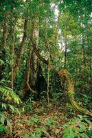 En la selva de tierra firme, algunos árboles de gran porte tienen raíces de forma tabloide y son el soporte de gruesas lianas que alcanzan e...