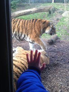Tigers at Dublin zoo Dublin Zoo, Tigers, Animals, Animales, Animaux, Animal, Animais, Big Cats