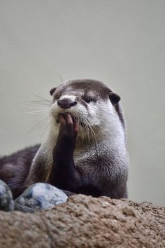 Otter is deeply absorbed in thought - February 21, 2017