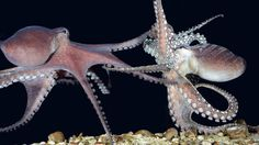 Octopus Facts: 22 Facts about Octopuses ←FACTSlides→