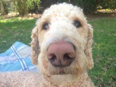 Standard poodle nose. My sweet Oliver James