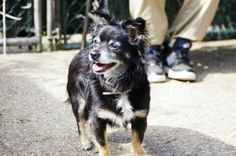 SAFE 6/22/2015 --- SUPER URGENT Staten Island Center COACOA – A1039417 NEUTERED MALE, TRICOLOR, CHIHUAHUA LH MIX, 8 yrs STRAY – STRAY WAIT, NO HOLD Reason STRAY Intake condition EXAM REQ Intake Date 06/09/2015