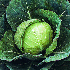 Old, reliable, award-winning variety that gets its name from its solid 3.5 lb (1.1kg) heads of Cabbage. 'Stonehead' is a great garden performer with good disease resistance, the heads rarely split and they hold well in the field until harvesting. Cabbages are a delicious source of potassium and Vitamin C. A must for every vegetable garden!