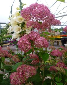 Hydrangea Pink Annabelle & White Foxglove - what's not to love?!