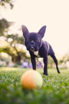 © Annie Tao Photography | lifestyle dog photography, Boston Terrier and ball