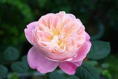冬冬玫瑰網-商品詳情-夢之燈