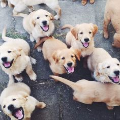 Golden Retriever heaven