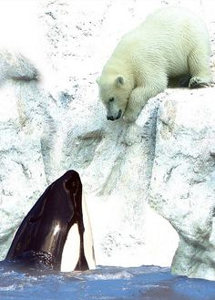 Orca and polar bear...each wondering how they are going to eat the other? This is funny to me for some reason....