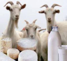 Savons au lait de chèvre!