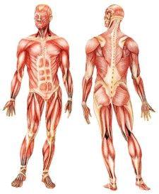 LOS MÚSCULOS: Es importante entender cómo funcionan y cómo se pueden lastimar para poder prevenir lesiones y para reconocer los síntomas de enfermedades musculares. Human Anatomy, Art Reference, Digital Art, Statue, Arthritis, Tattoos, Google, Free, Ideas