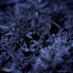 Araignée-loup - Lycosa ZZ567 NSW | Wolf spider: http://tazintosh.com #FocusedOn #Photo #Arachnide #Arachnid #_Lycosidae #Araignée-loup #Lycosa ZZ567 NSW #Wolf spider #Canon EF 180mm f/3.5L Macro USM #Canon EOS 5D Mark II