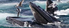 In this photo taken July 9, 2014, humpback whales feed at the Stellwagen Bank National Marine Sanctuary off Cape Cod near Provincetown, Mass. A new study explains how the baleen whale family, which includes humpback whales, grew seemingly suddenly on