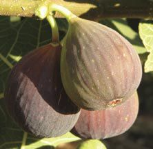 Brown Turkey Fig | Other Fruits | Fruits | Jung Garden and Flower Seed Company  www.jungseed.com