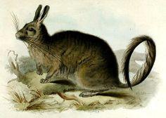 Southern Viscacha - Lagidium viscacia (family: Chinchillidae)