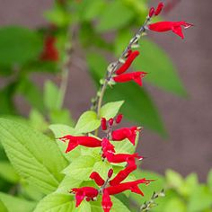 15 best plants for pollinators   Salvia   Sunset.com
