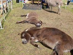 Esel -verdiente Mittagspause beim Eseltreffen Bad Wörishofen