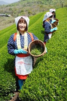 Mitoyo Kagawa, Japan - April 23: Young japanese women with traditional clothing kimono harvesting tea leaves on hill of tea plantation on April 23, 2012 Mitoyo Kagawa, Japan. Stock Photo