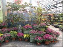 Caring for Fall Mums - Jim Jenkins Lawn & Garden Center