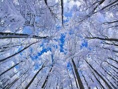 Great photo from below: Beech forest in wintertime. Fichtelgebirge, Bavaria, Germany.