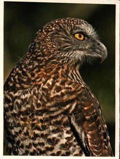 Powerful owl/ninox strenua