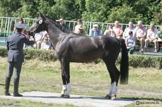 Polish Half-Bred Horse - stallion Liliano