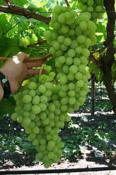 Growing grapes.