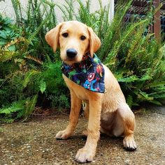 """""""Since I have to do everything my sister does here is me in my Montys Marvels Bandana from @sewmehappy . Mom tried hard to get a picture of me and my sister together but sometimes a girl just wants her own time to shine. . #teammonty . #teamfoxred #labrador #retriever #puppy#pupplove #labradorretriever #yellowlab #talesofalab #weeklyfluff #buzzfeedanimals #labrador_feature #dogs_of_instagram #puppiesofinstagram #dog #cuteanimals #mydogiscutest #dogphotography #photooftheday #picoftheday…"""