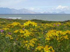 South Africa's West Coast Spring Flowers Spring Flowers, Wild Flowers, Table Mountain, West Coast, South Africa, Beautiful Places, Sea, City, Nature