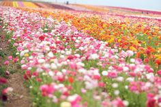 The Flower Fields of Carlsbad, California.  Ranunuculus fields....breathtaking in person.