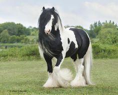 Gypsy Vanner horse                                                       …