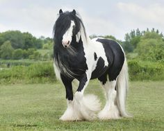 I'll probably never have a Gyspy Vanner. But they are so beautiful!