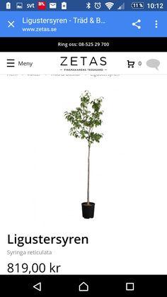 träd ringen dating definition