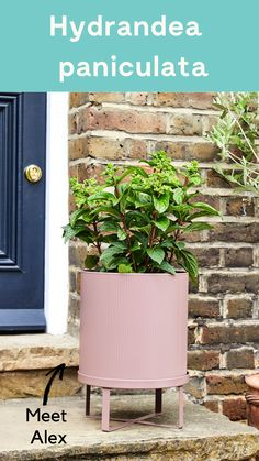 Alex is a very welcome addition to an urban garden. His cone-shaped flower heads bloom into dozens of tiny creamy-white or pink flowers that dance in the breeze. Alex will take the sunny spot but he is also more than happy in a shadier spot too. #outdoorplant #gardenplant #pot #outdoor {Paniculate hydrangea}
