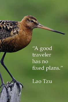 """""""A good traveler has no fixed plans."""" --Lao Tzu --  On image of black tailed godwit in ICELAND by Dr. Joseph McGinn -- -- Explore more quotes and image themed on artistic wanderlust at http://www.examiner.com/article/artistic-wanderlust-journey-through-words-and-images"""