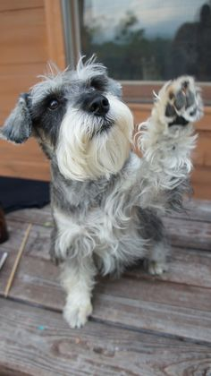 Ranked as one of the most popular dog breeds in the world, the Miniature Schnauzer is a cute little square faced furry coat. Miniature Schnauzer Puppies, Schnauzer Puppy, Schnauzers, Cute Puppies, Cute Dogs, Dogs And Puppies, Doggies, Most Popular Dog Breeds, High Five